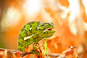 Flap-necked chameleon looking at camera, mouth open, sitting on a branch with autumn orange leaves ready to fall.  Facing camera right. Orange and white out of focus background.<br /> <br /> The Flap-necked chameleon (Chamaeleo dilepis), is native to sub-Saharan Africa. It is a large chameleon, reaching 35 cm (14 in). Colouring ranges through various shades of green, yellow, and brown. There is usually a pale stripe on the lower flanks and one to three pale patches higher on the flanks. These chameleons lay 25 to 50 eggs in a hole dug in soil, which is covered over again by the female.