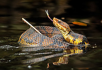 a cottonmouth coils around a floating stick in a defensive posture