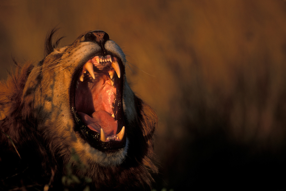 Kenya, Masai Mara Game Reserve, Male Lion (Panthera leo) bares teeth while yawning in tall grass on savanna