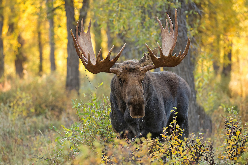 As leaves turn golden, moose begin to gather in Wyoming's cottonwood groves for the autumn rut. Solitary for most of the year, large bulls now gather cows into small harems for breeding.  This dominant bull laid claim to most of the cows in the area and actively guarded them from all challengers.