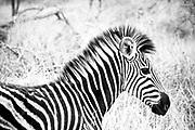 A zebra's racing stripes