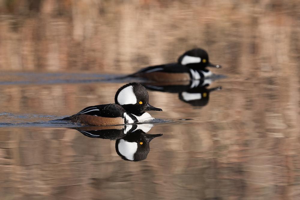 Wood Ducks Oneida Lake