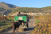 Gypsy horse and cart on road through grapevines near village of Lliber, Marina Alta, Alicante province, Spain
