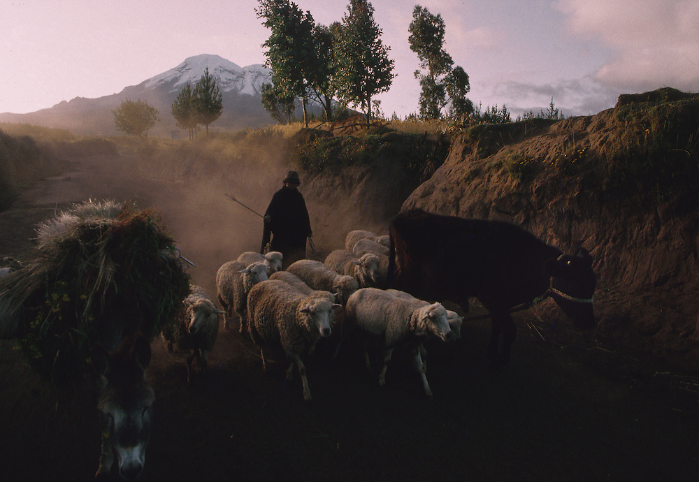 Man Herds Sheep and Cattle , Chimborazo.--- Image by © Jeremy Horner