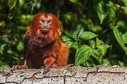 Portrait of an endangered golden lion tamarin (Leontopithecus rosalia) climbing a tree with shoulder showing black paint used by researcher for identification, Brasil, South America