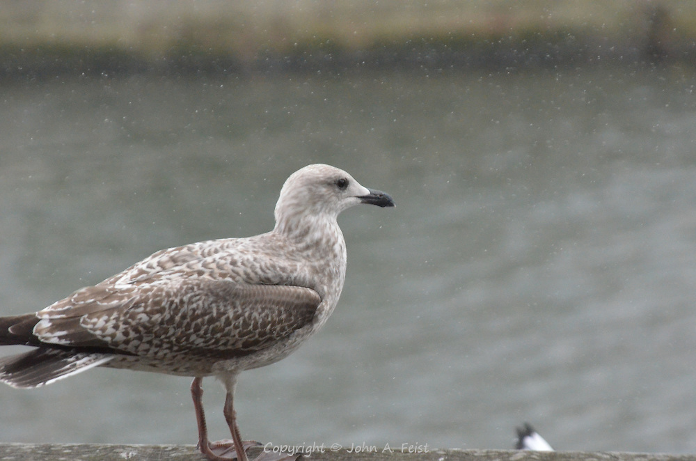 A seagull along the river Liffey in Dublin, Ireland.  He didn't seem to mind the sudden downpour