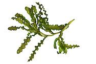 Curled Pondweed - Potamogeton crispus