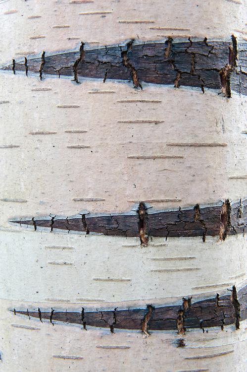 11.04.2009.Birch bark..Bergslagen, Sweden.