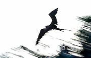 A panned silhouette of a frigatebird in flight.