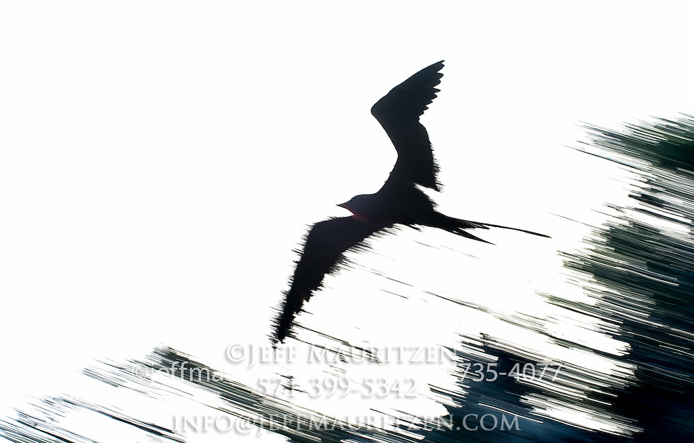 A panned silhouette of a frigatebird in flight.