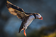 Lundefugl inn for landing i Lundeura på Runde | Puffin landing at Lundeura, Runde, Norway.