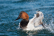 Canvasback, Aythya valisineria, male bathing, Detroit River, Ontario, Canada