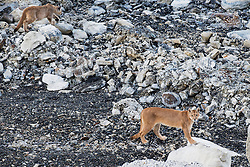 A puma (Puma con color) also known as a mountain lion or cougar,  walking through stromolite rocks with her cub, Torres del Paine, Chile, South America