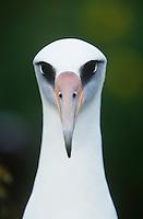 Close-up of Laysan Albatross (Phoebastria immutabilis) front view