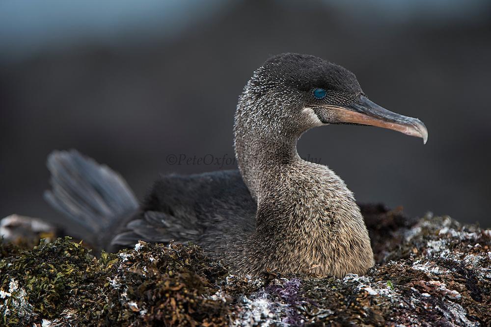 Flightless Cormorant (Nannopterum harrisi) on Nest<br /> Espinosa Point<br /> Fernandina Island<br /> Western Isles of Galapagos Islands<br /> Galapagos<br /> Ecuador, South America<br /> ENDEMIC TO GALAPAGOS
