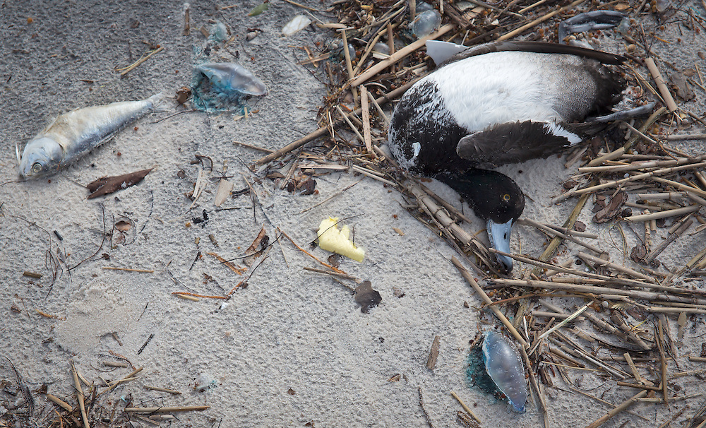 12/19/2015, Dead duck, male from one species of diving ducks, the lesser scaup and man o' war on the beach in Long Beach, Mississippi durring a month long fish kill event.  A red tide ( toxic algae growth)  was blaimed for a fish kill event that also killed many ducks and some mammals along beaches in Mississippi along the Gulf of Mexico that started at the deginning of December and continued through the end of the month. Warming tempatures caused by climate change,  make 'red tide' conditions a growing problem on the Gulf Coast.