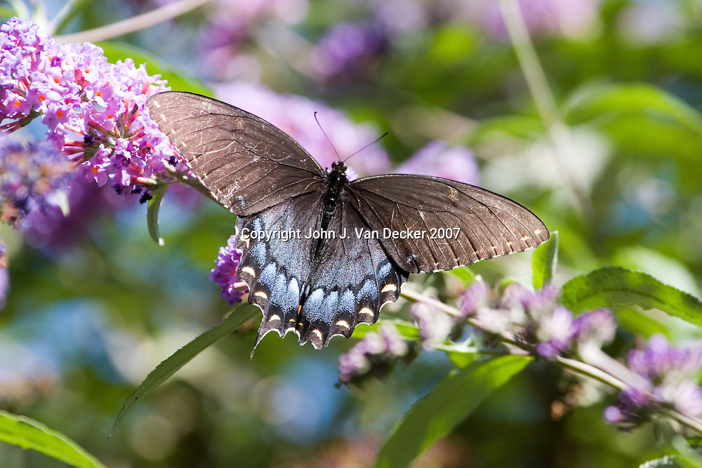 Black Swallowtail, butterfly, with wings spread on lilac flower