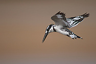 pied kingfisher, Ceryle rudis, Martin-pêcheur pie