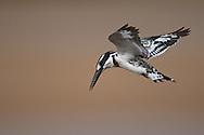 pied kingfisher, Ceryle rudis, Martin-pêcheur pie