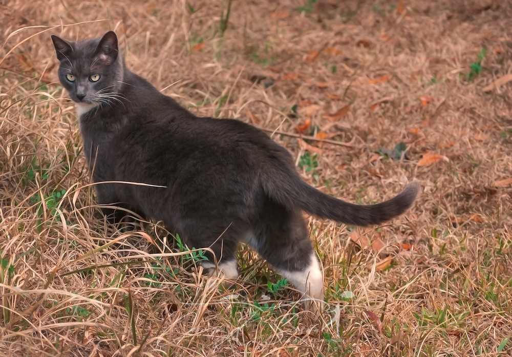 Sissy, a shorthaired domestic cat, is pictured outside in her yard, February 20, 2011, in Mobile, Alabama. (Photo by Carmen K. Sisson/Cloudybright)