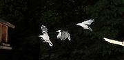 White-breasted nuthatch (Sitta carolinensis) in flight.  Captured with a stroboscopic flash.