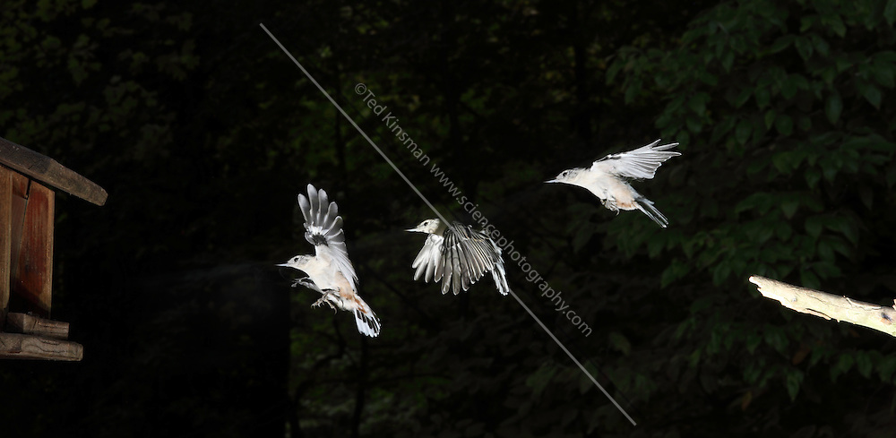White-breasted nuthatch (Sitta carolinensis) in flight.  Captured with a stroboscopic flash.