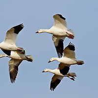 snow geese ready to land in grain field rocky mountain front