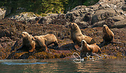 Steller sea lions hauled out on the rocks of the Inian islands, Alaska.