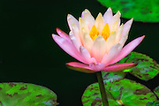 Photographed this pink waterlily in my backyard pond. This was the 1st bloom of the summer season.