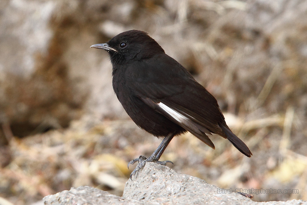 Rüppell's Black Chat, Myrmecocichla melaena, Nakuta La'ab Cave Church, Ethiopia, by Adam Riley