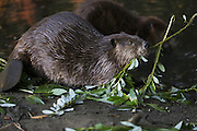 North American Beaver<br /> Castor canadensis<br /> Eating willow<br /> Martinez, CA