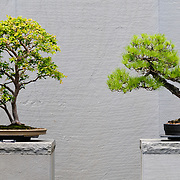 Bonsai at the US National Arboretum in Washington DC, a Department of Agriculture education and research reserve.