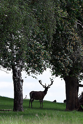 © Licensed to London News Pictures. 03/06/2015. Richmond, UK. A lone stage shelters from the sun . Deer gather beneath trees in the shade in Richmond Park today 3rd June 2015. Temperatures are set to get highr as the week progresses. Photo credit : Stephen Simpson/LNP