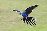 Hyacinth Macaw<br /> Anadorhynchus hyacinthinus<br /> Pantanal, Brazil