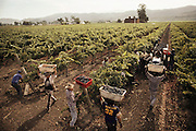 Napa Valley, California. Hand harvesting of red varietals that will be made into wines. Johnson Turnbull Wine.