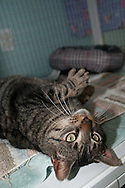 Tolkien is a friendly and loving cat available for adoption at the Chemung County SPCA. Tolkien just rolled around soliciting attention from me. Just trying to get petted as much as possible.