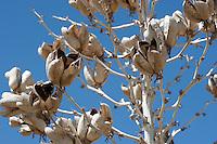 Soaptree Yucca, (Yucca elata),Van Horn, Culberson County, TX.