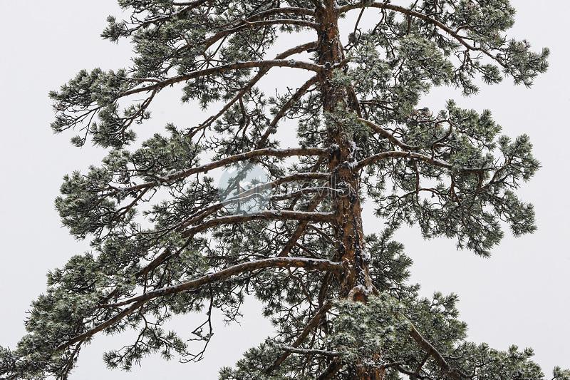 Bosque de pino silvestre nevado (Pynus sylvestris). Parque Natural de la Serranía de Cuenca. Cuenca ©Antonio Real Hurtado / PILAR REVILLA