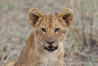 Alert lion cub, Central Serengeti
