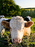 Bull with nose ring in a field with cows, Oxfordshire, The Cotswolds, United Kingdom RESERVED USE - NOT FOR DOWNLOAD -  FOR USE CONTACT TIM GRAHAM