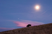 A lone bison grazes at the National Bison Range Wildlife Refuge in Montana with the moon, a planet, and a beautiful cloud formation Missoula Photographer, Missoula Photographers, Montana Pictures, Montana Photos, Photos of Montana