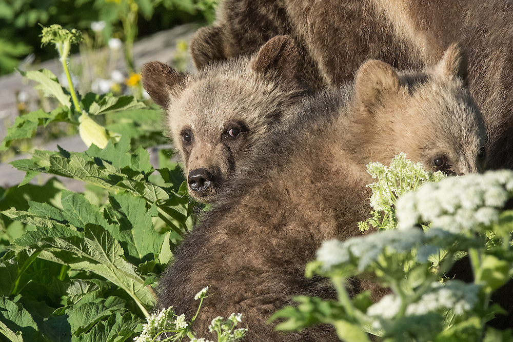In June of 2015, the grizzly sow known as Raspberry, emerged with her first set of spring cubs.  Like all grizzlies, Raspberry was a very protective mother, and kept her cubs byher side at all times.