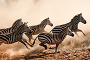 Zebras stampede after a crocodile takes a zebra foal at the nearby watering hole.