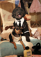 "Bella (left) is wearing the Jennifer Lopez gown from the Academy Awards, and Pippins is wearing the Leonardo DiCaprio Tux.  Pippins is a six year old ""pound puppy.""  Bella is a seven year old Miniature Pinscher."
