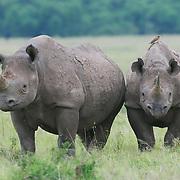 Black rhinoceros (Diceros bicornis) mother and baby, Masai Mara Naitonal Reserve. Kenya, Africa.