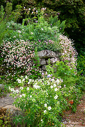 Dry stone wall at Glebe Cottage with eryngiums, geranium and Erigeron karvinskianus - Mexican daisy, Mexican fleabane - growing in a wall