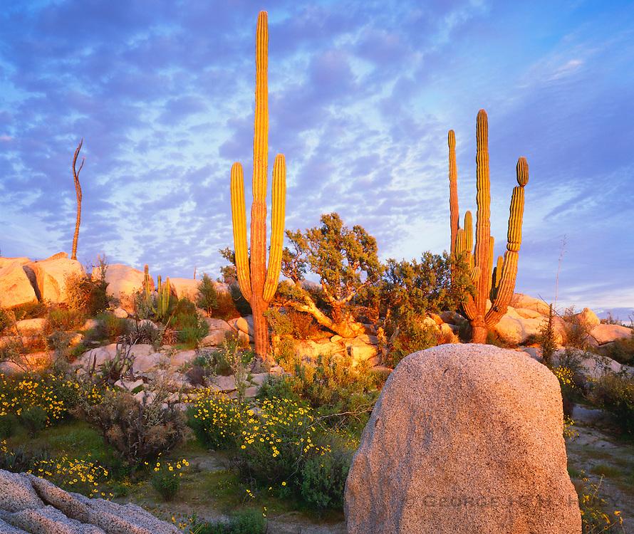 6104-1015 ~ Copyright: George H. H. Huey ~ Cardon cactus with elephant trees, boojum tree and yellow flowering brittlebush. Sunset. Catavina Boulder Field. Baja California, Mexico.