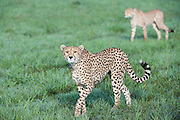 Cheetah (Acinonyx jubatus) with cub walking through grassland