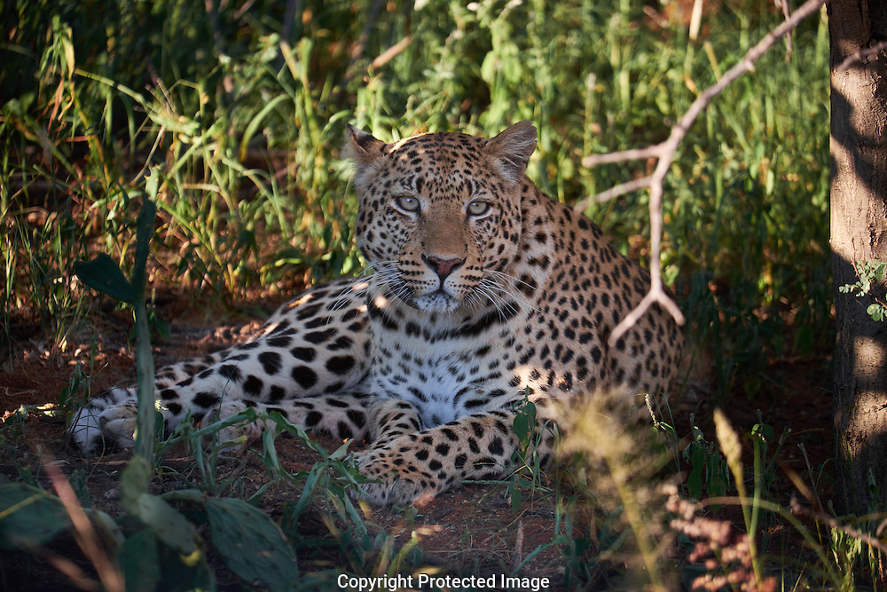 Leopard in the AfriCats reserve in Namibia Africa on Tuesday, March 22, 2016. (Photo/John Froschauer)