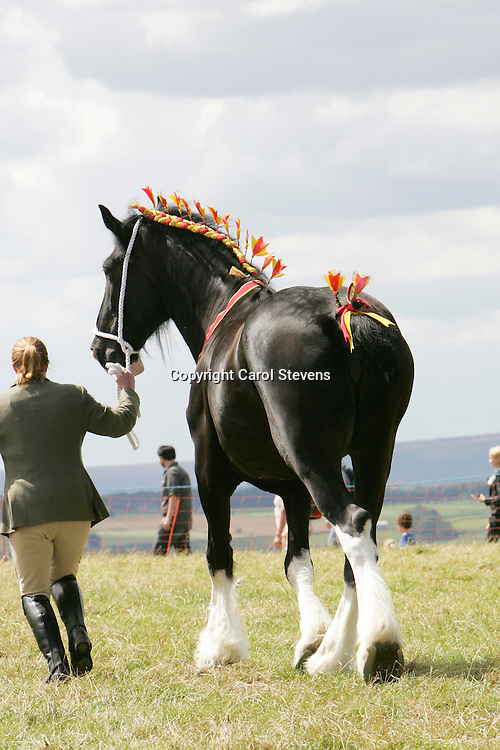Emley Show 2012  <br />  Westfield Lucky Charm (Best Brood Mare)